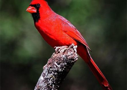 red cardinal animal medicine, akosmopolite