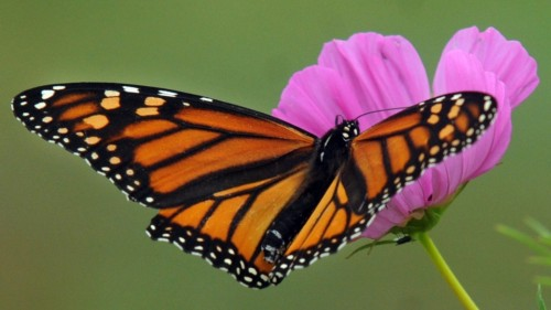 Monarch, transformation