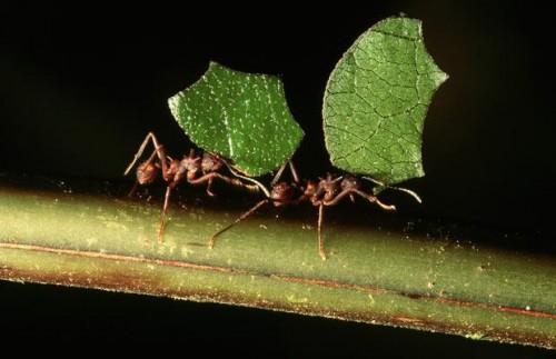 red ant medicine