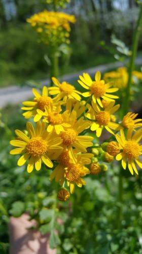 daisies, yellow flowers, sun flowers, nature