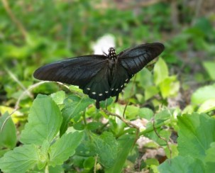 butterfly photography, black and blue butterfly, moth